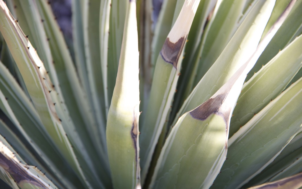 Agave 2 by Josh Sand